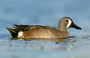 Blue-winged Teal (Anas discors) male, Texas  -  Alan Murphy
