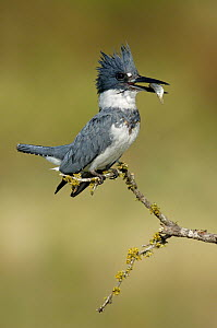 Belted Kingfisher (Megaceryle alcyon) male, Texas  -  Alan Murphy