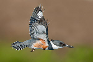 Belted Kingfisher (Megaceryle alcyon) female flying, Texas  -  Alan Murphy