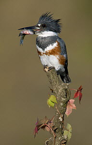 Belted Kingfisher (Megaceryle alcyon) female carrying a fish, Texas  -  Alan Murphy