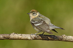 Bay-breasted Warbler (Setophaga castanea), Texas  -  Alan Murphy