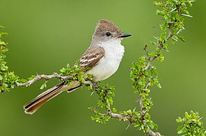 Ash-throated Flycatcher (Myiarchus cinerascens), Texas  -  Alan Murphy