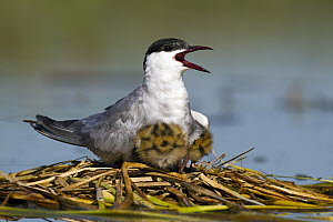Whiskered Tern (Chlidonias hybrida) parent and chicks at nest, Seville, Spain  -  Mario Suarez Porras