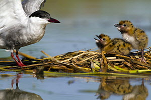 Whiskered Tern (Chlidonias hybrida) and chicks at nest, Seville, Spain  -  Mario Suarez Porras