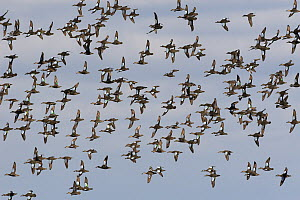 Blue-winged Teal (Anas discors) flock flying, Florida  -  Christine Jung