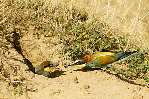 European Bee-eater (Merops apiaster) bringing food to mate at burrow, Castile-La Mancha, Spain  -  Mario Suarez Porras