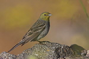 Cinereous Bunting (Emberiza cineracea), Lesvos, Greece - Christine Jung