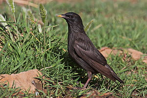 Spotless Starling (Sturnus unicolor), Extremadura, Spain  -  Christine Jung
