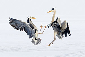 Grey Heron (Ardea cinerea) pair fighting, Germany  -  Jan Wegener