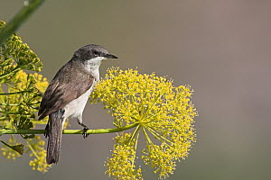 Lesser Whitethroat (Sylvia curruca), Lesvos, Greece  -  Christine Jung