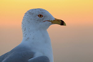 Ring-billed Gull (Larus delawarensis), Florida - Jan Wegener