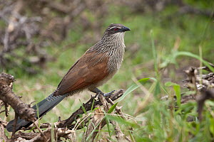 White-browed Coucal (Centropus superciliosus), Masai Mara, Kenya - Marion Vollborn