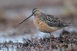 Long-billed Dowitcher (Limnodromus scolopaceus), Alaska - Jacob S. Spendelow