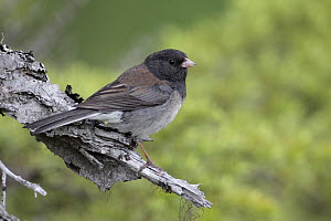 Oregon Junco (Junco hyemalis oreganus) male, Alaska  -  Jacob S. Spendelow