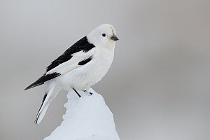 Snow Bunting (Plectrophenax nivalis) male, Alaska  -  Jacob S. Spendelow