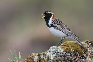 Lapland Bunting (Calcarius lapponicus) male singing, Alaska  -  Jacob S. Spendelow