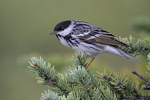 Blackpoll Warbler (Setophaga striata) male, Alaska  -  Jacob S. Spendelow