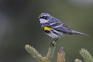 Yellow-rumped Warbler (Setophaga coronata) male, Alaska  -  Jacob S. Spendelow