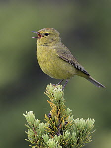 Orange-crowned Warbler (Oreothlypis celata), Alaska  -  Jacob S. Spendelow