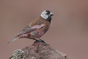 Grey-crowned Rosy-Finch (Leucosticte tephrocotis), Saint Paul Island, Alaska  -  Jacob S. Spendelow