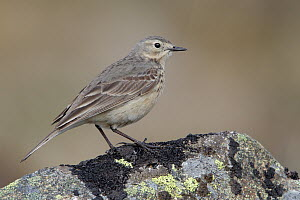 American Pipit (Anthus rubescens), Alaska  -  Jacob S. Spendelow