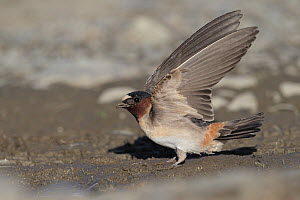 American Cliff Swallow (Petrochelidon pyrrhonota), Alaska  -  Jacob S. Spendelow