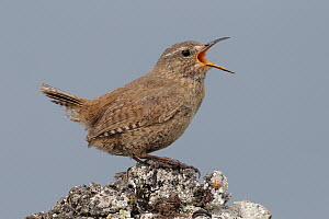 Pacific Wren (Troglodytes pacificus), Alaska  -  Jacob S. Spendelow