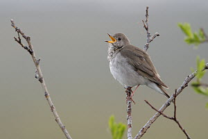 Grey-cheeked Thrush (Catharus minimus), Alaska  -  Jacob S. Spendelow