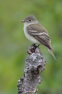 Alder Flycatcher (Empidonax alnorum), Alaska  -  Jacob S. Spendelow