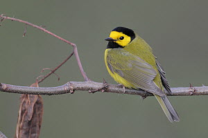 Hooded Warbler (Setophaga citrina) male, West Virginia  -  Jacob S. Spendelow