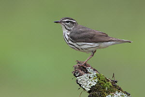 Louisiana Waterthrush (Parkesia motacilla), West Virginia  -  Jacob S. Spendelow