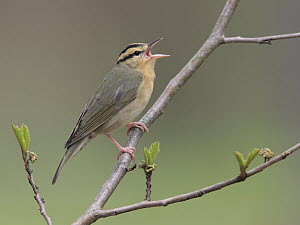 Worm-eating Warbler (Helmitheros vermivorus) singing, West Virginia  -  Jacob S. Spendelow