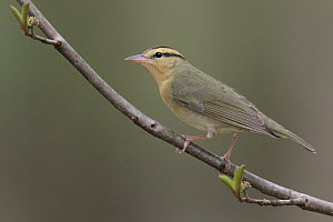 Worm-eating Warbler (Helmitheros vermivorus), West Virginia  -  Jacob S. Spendelow