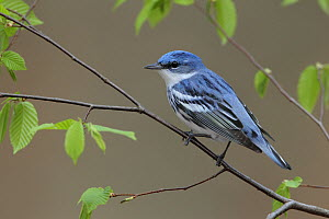 Cerulean Warbler (Setophaga cerulea) male, West Virginia  -  Jacob S. Spendelow