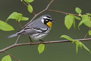 Yellow-throated Warbler (Setophaga dominica), West Virginia  -  Jacob S. Spendelow