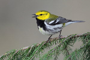 Black-throated Green Warbler (Setophaga virens) male, West Virginia  -  Jacob S. Spendelow