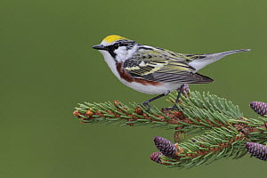 Chestnut-sided Warbler (Setophaga pensylvanica) male, West Virginia  -  Jacob S. Spendelow