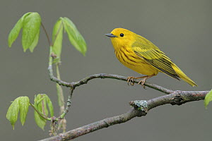 American Yellow Warbler (Setophaga aestiva) male, West Virginia  -  Jacob S. Spendelow