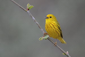 American Yellow Warbler (Setophaga aestiva) male singing, West Virginia  -  Jacob S. Spendelow