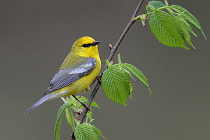 Blue-winged Warbler (Vermivora cyanoptera), West Virginia  -  Jacob S. Spendelow