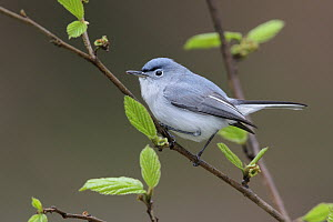 Blue-grey Gnatcatcher (Polioptila caerulea), West Virginia  -  Jacob S. Spendelow