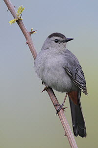 Gray Catbird (Dumetella carolinensis), West Virginia  -  Jacob S. Spendelow