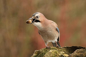 Eurasian Jay (Garrulus glandarius) carrying acorn food, Lower Saxony, Germany  -  Folkert Christoffers