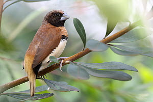 Chestnut-breasted Munia (Lonchura castaneothorax), New South Wales, Australia  -  Jan Piecha