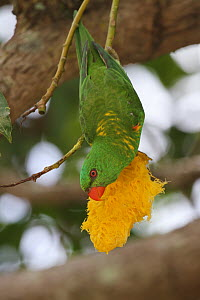 Scaly-breasted Lorikeet (Trichoglossus chlorolepidotus) feeding at flower, Queensland, Australia  -  Jan Piecha