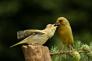 European Greenfinch (Chloris chloris) feeding juvenile, Lower Saxony, Germany  -  Folkert Christoffers