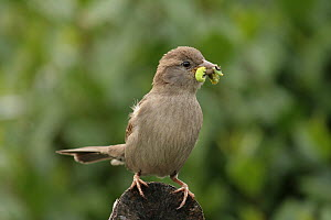 House Sparrow (Passer domesticus) carrying caterpillars, Lower Saxony, Germany  -  Folkert Christoffers