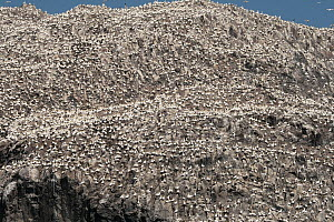 Northern Gannet (Morus bassanus) breeding colony on cliff, Bass Rock, Scotland, United Kingdom  -  Folkert Christoffers