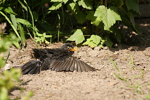 Eurasian Blackbird (Turdus merula), Lower Saxony, Germany  -  Folkert Christoffers