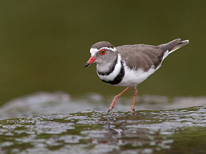 Three-banded Plover (Charadrius tricollaris), South Africa  -  Walter Soestbergen